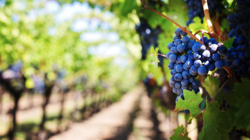 Lucrările de vară specifice viticulturii